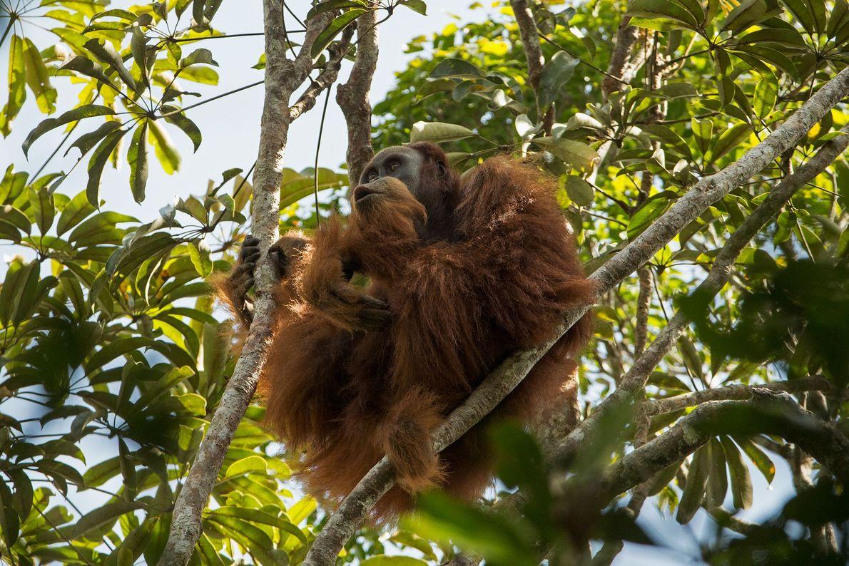 La nouvelle espèce d'orang-outans est déjà menacée d'extinction, tout comme les orang-outans de Sumatra et de ...