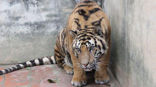 Le trafic de tigres, un business florissant et particulièrement cruel