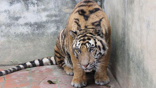 Cette photo d'un tigre enfermé dans un enclos bétonné d'une ferme a été prise au Vietnam ...