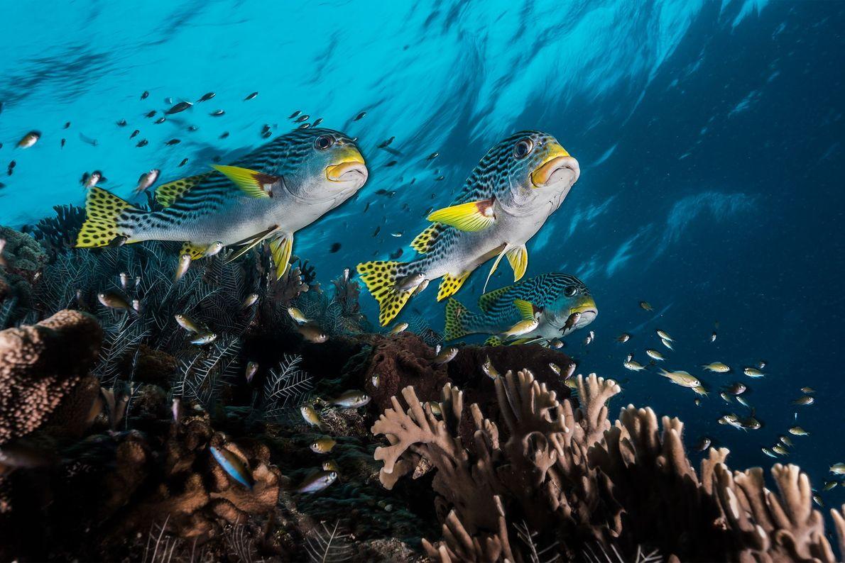 Des gaterins se faufilent à toute vitesse entre les coraux du récif de Tubbataha, récif décrit ...