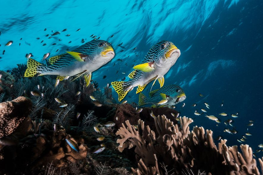 Des gaterins se faufilent à toute vitesse entre les coraux du récif de Tubbataha, récif décrit …