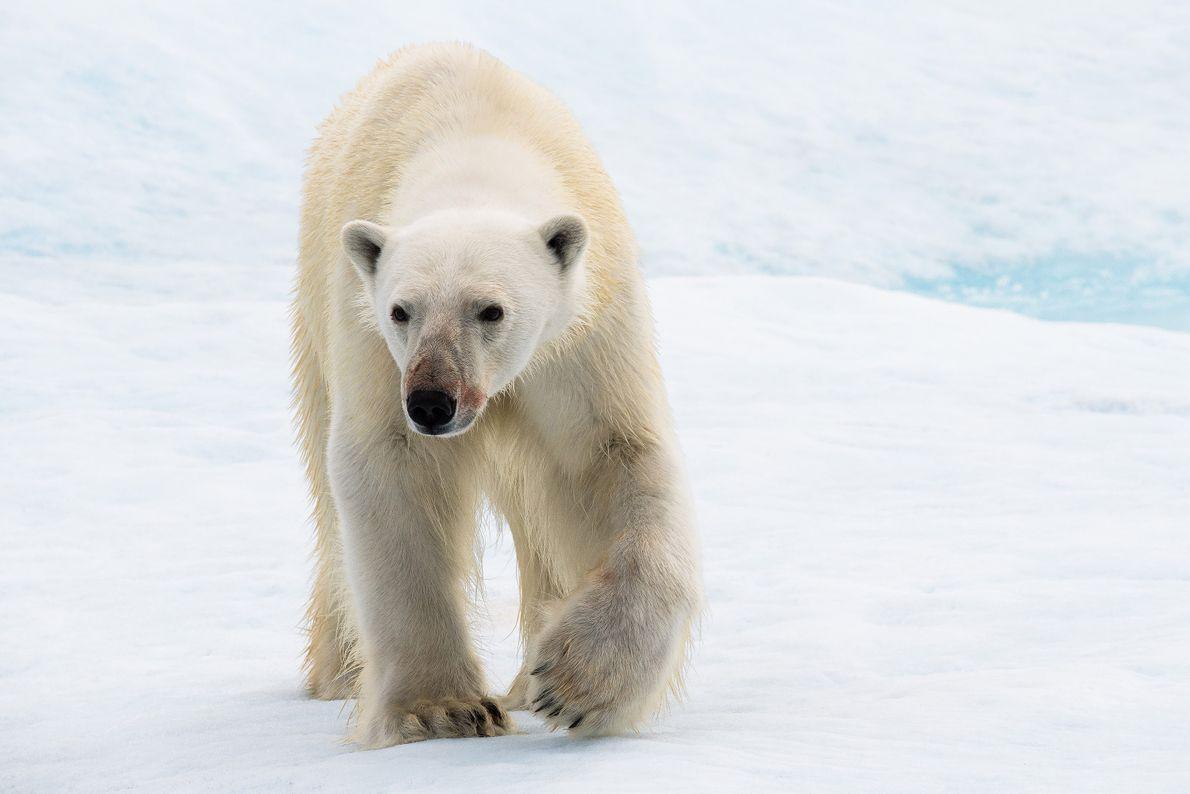 Au Nunavut, un jeune ours polaire progresse sur la glace et s'approche du photographe et de ...