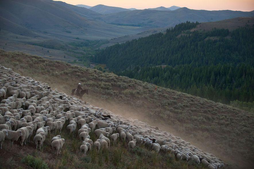 Dans l'Idaho, les éleveurs et les conservationnistes collaborent pour protéger à la fois les troupeaux et ...