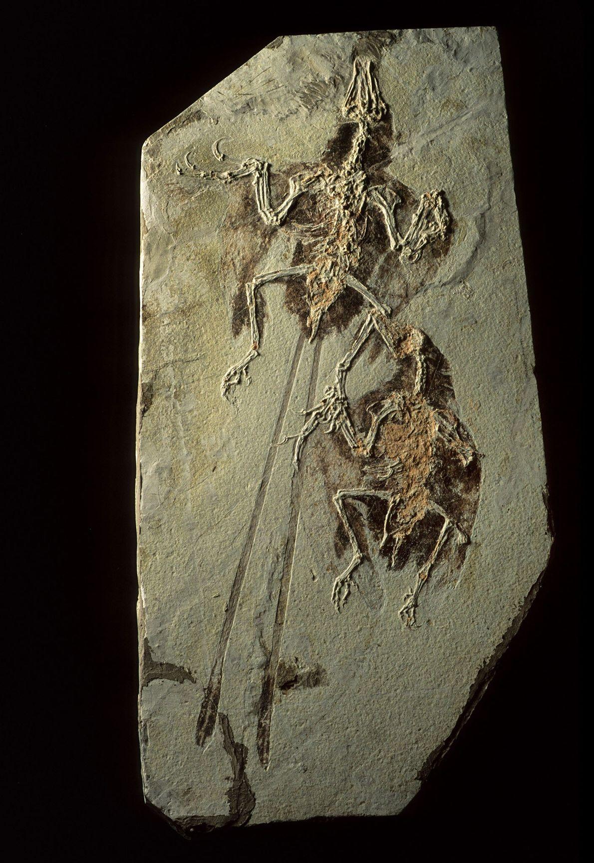 Les gisements de fossiles de Liaoning, en Chine, renferment des dinosaures mais également certains ancêtres des ...