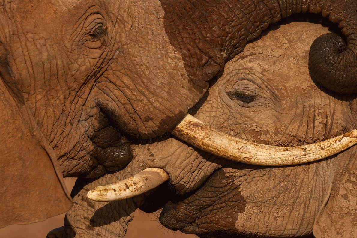 Les jeunes éléphants mâles se battent et se testent en permanence, des capacités précieuses qui leur ...