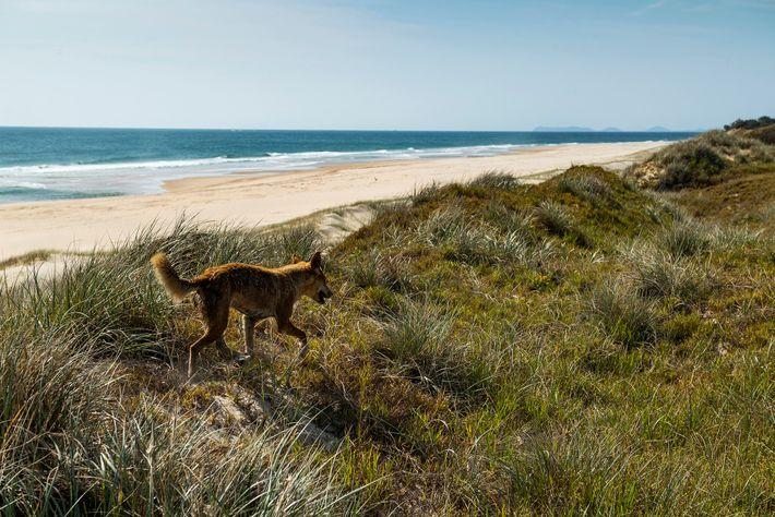 Les chiens domestiques sont interdits sur l'île Fraser, car le patrimoine génétique inaltéré des dingos qui ...