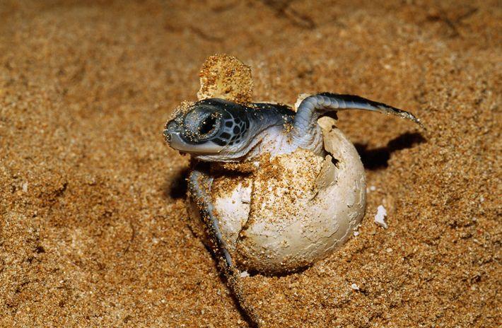Une tortue de mer éclot dans le sable.