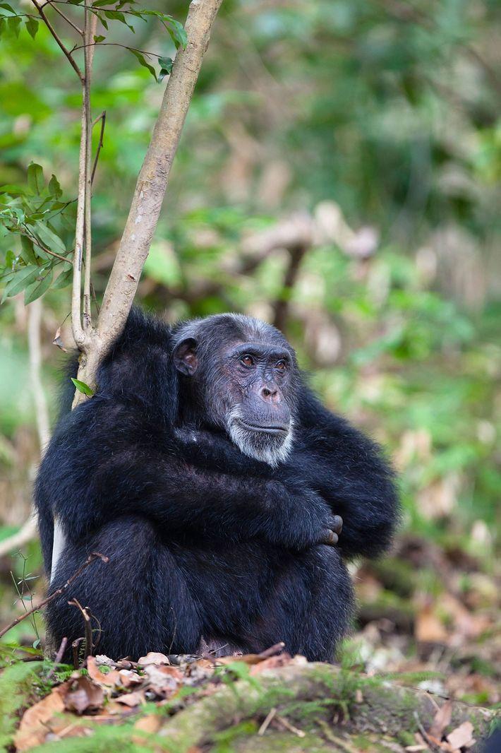 Un chimpanzé mâle d'un certain âge se repose dans le parc national des monts Mahale, en ...
