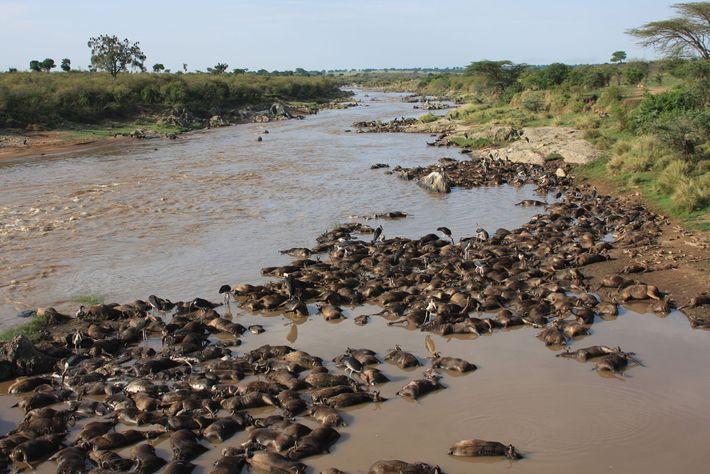 Des tas de gnous sans vie bordent les rives de la rivière Mara située dans les ...