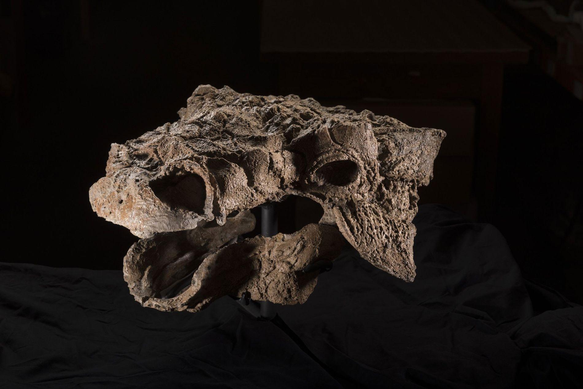 Des pics osseux saillissent du crâne de Zuul crurivastator, un dinosaure cuirassé dont le squelette est l'un des plus complets jamais mis au jour. En raison de son apparence démoniaque, les chercheurs ont décidé de le baptiser d'après un monstre du film SOS Fantômes. Mais l'animal n'était pas assoiffé de sang : Zuul était herbivore et aimait par-dessus tout les bourgeons.