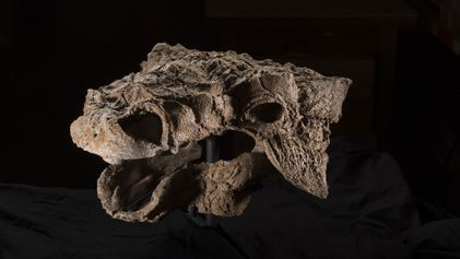Découverte d'une nouvelle espèce de dinosaure, lointain cousindu Tyrannosaurus rex