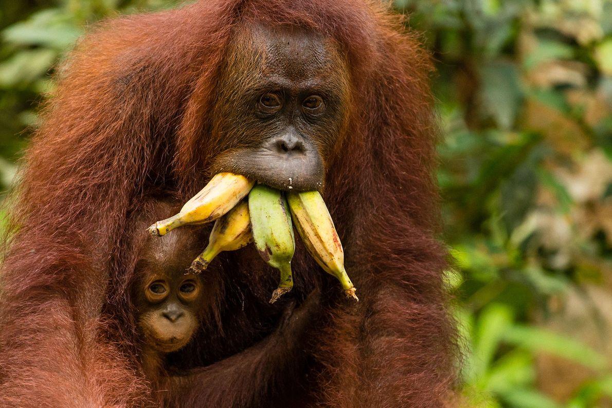 Une orang-outan de Bornéo multitâche qui réussit à transporter à la fois son bébé et une ...