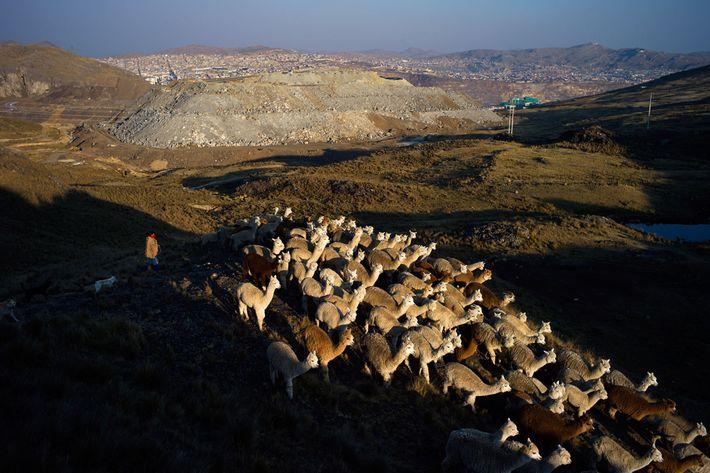 Un berger guide les alpagas et les lamas