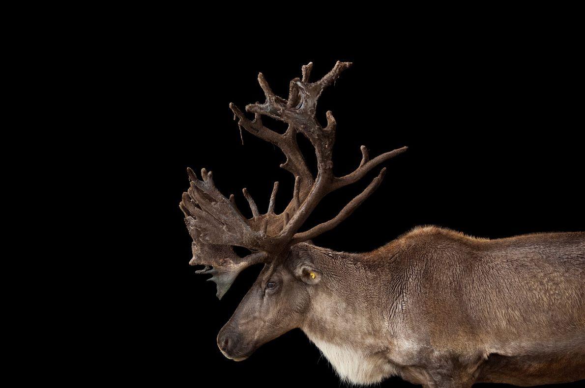06-alaska-refuge-caribou