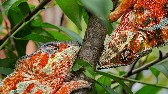 Deux caméléons panthères mâles arborent une coloration orange vif qui exprime une certaine agressivité.