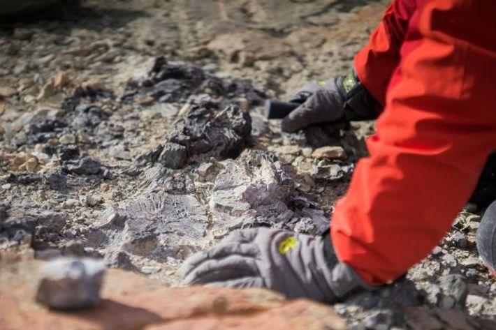 Bien qu'elle ait déjà été visitée par d'autres géologues, Collinson Ridge a produit une quantité inattendue ...