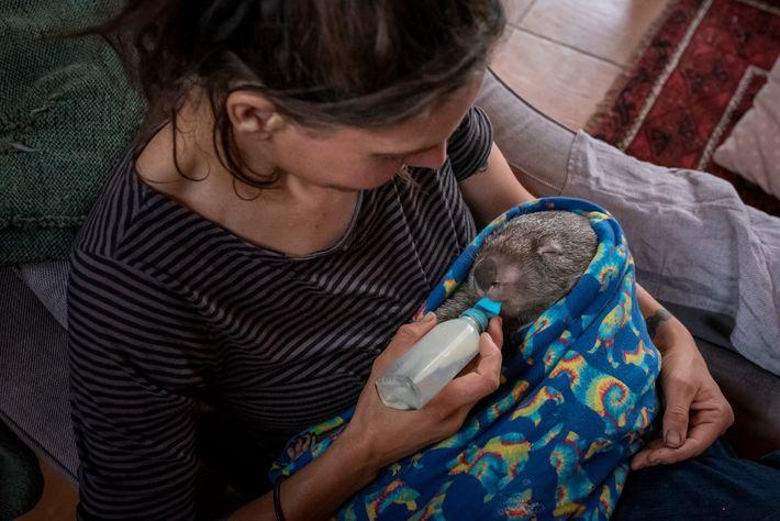 En janvier 2020, Rena Gaborov nourrit un Vombatus ursinus du nom de Kip à la bouteille. ...