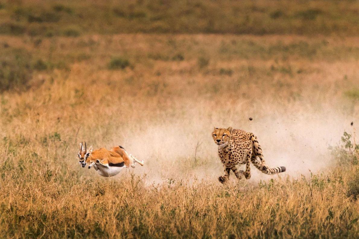 Une femelle guépard chasse une gazelle de Thomson dans le parc de Serengeti, en Tanzanie.