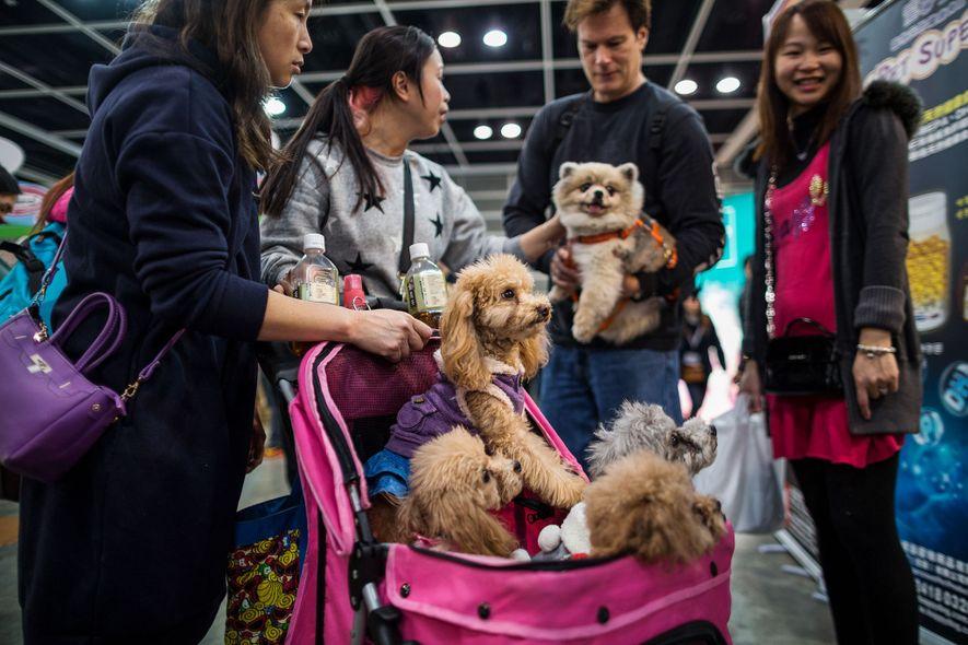 Les visiteurs d'un spectacle d'animaux domestiques transportent des caniches dans une poussette. La popularité grandissante des ...