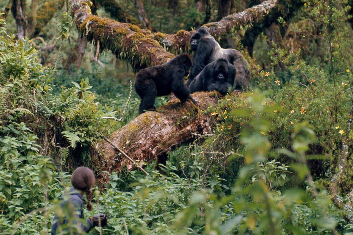 Chaque famille de gorilles se voyait attribuer un numéro dans le cadre des recherches. Ci-dessus, Diane ...