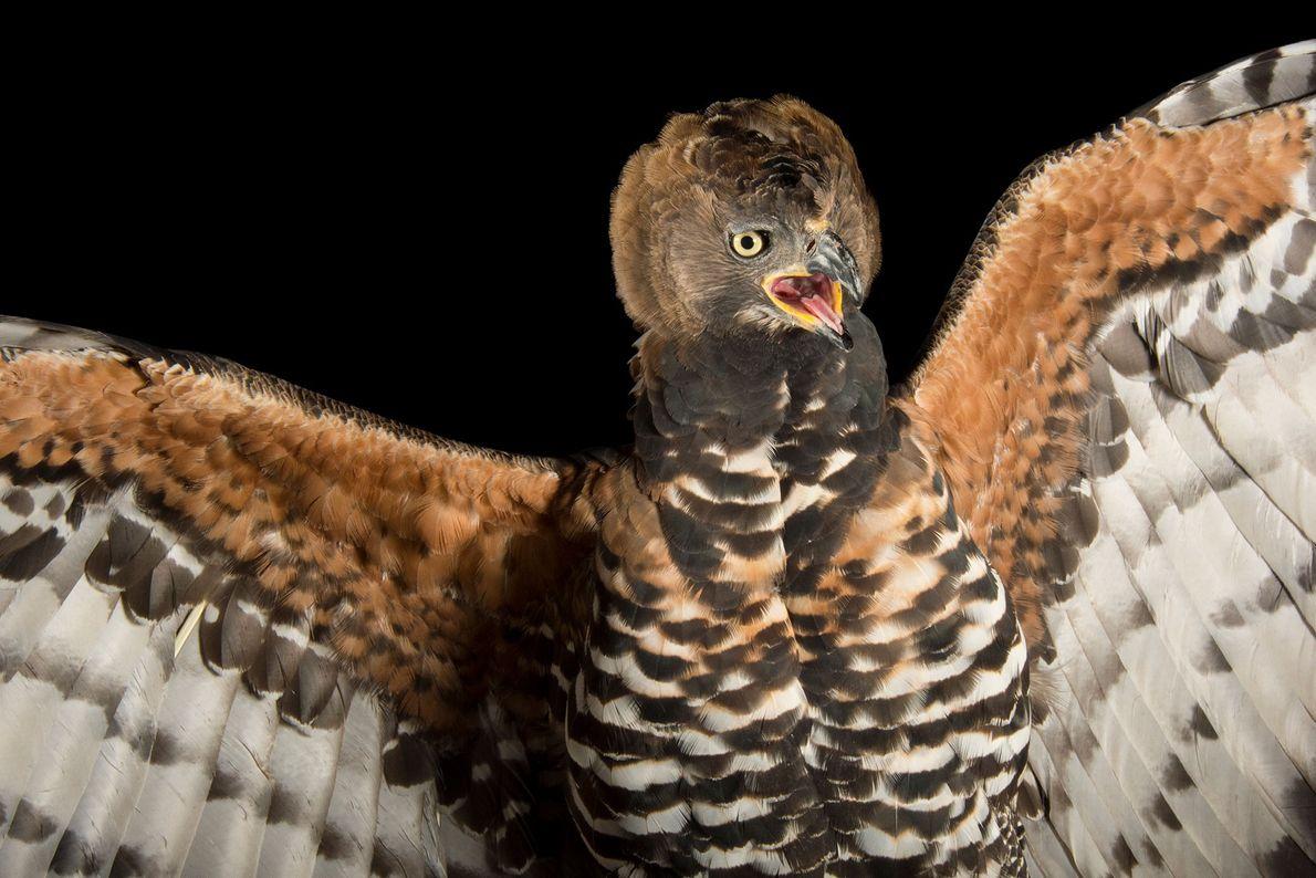 Un aigle couronné, Stephanoaetus coronatus, du zoo de Los Angeles. Considérée comme l'espèce d'aigle la plus ...