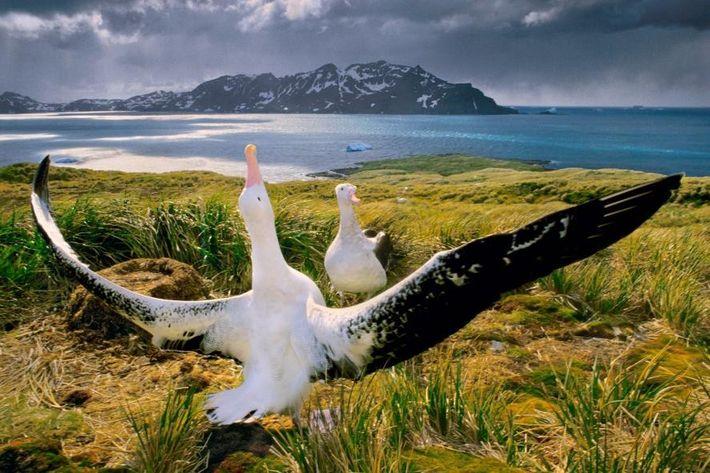 Des albatros se font la cour sur l'île de Géorgie du Sud, située dans le sud ...