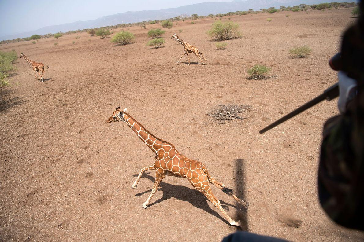 Un scientifique lance une fléchette sur l'épaule de la girafe, pendant que l'hélicoptère la surveille d'en ...
