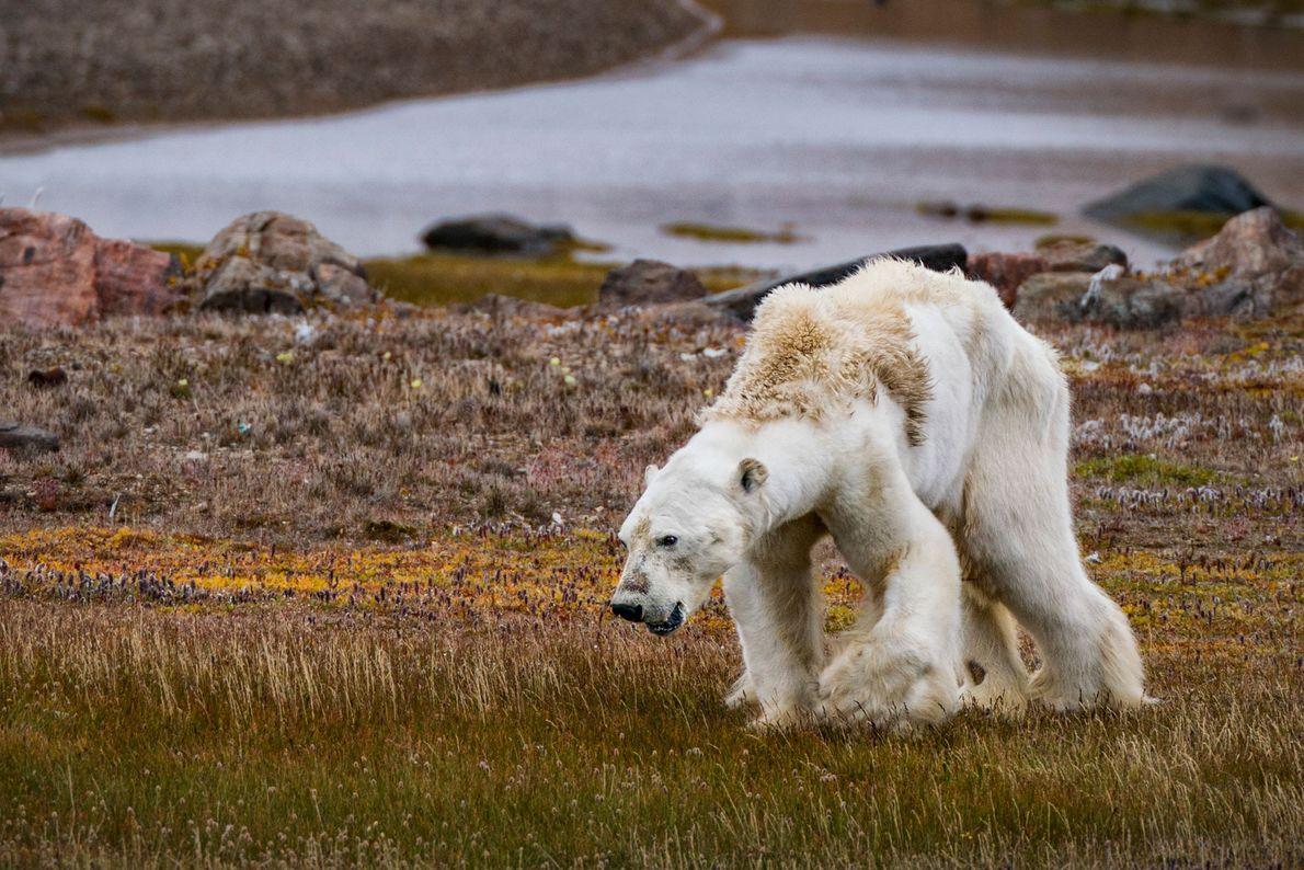 Les changements climatiques ont une incidence sur la faune et la flore de l'Arctique. Bien que ...