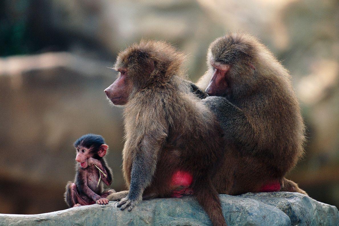 Les babouins hamadryas, que l'on peut voir ici en pleine toilette à l'aide de bouts de ...