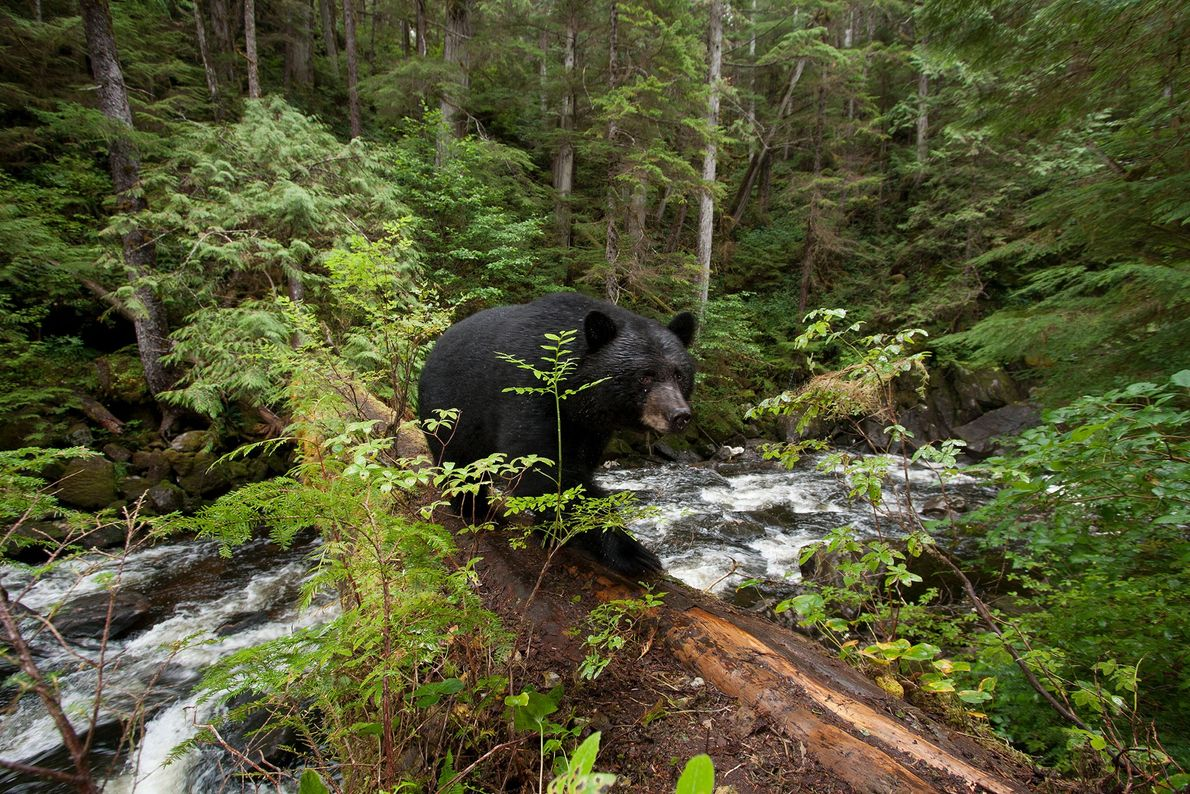 Une mutation génétique chez certains ours bruns est à l'origine de la fourrure blanche des ours ...