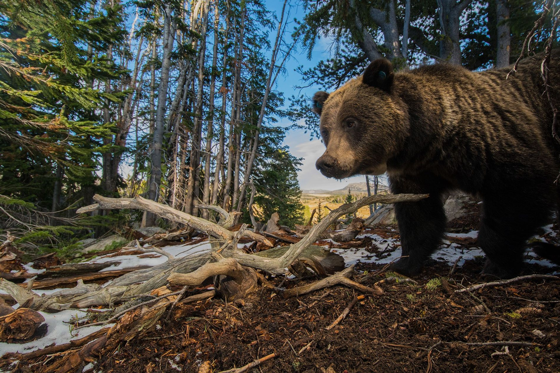 06-grizzly-bear-yellowstone