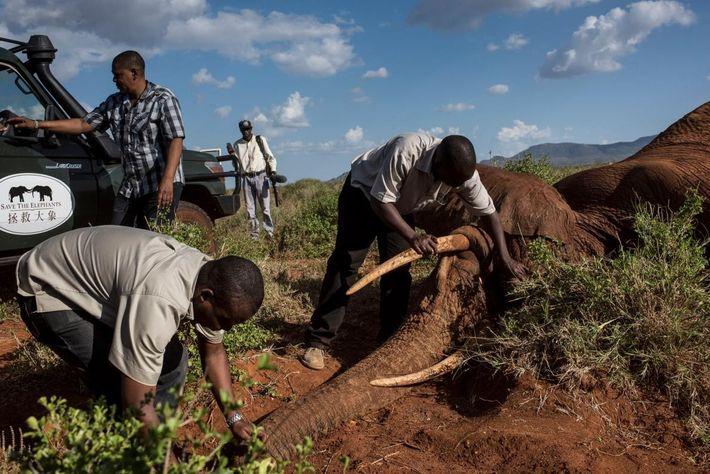 Des membres de l'équipe de Kenya Wildlife Service et des organisations de conservation Save the Elephants ...