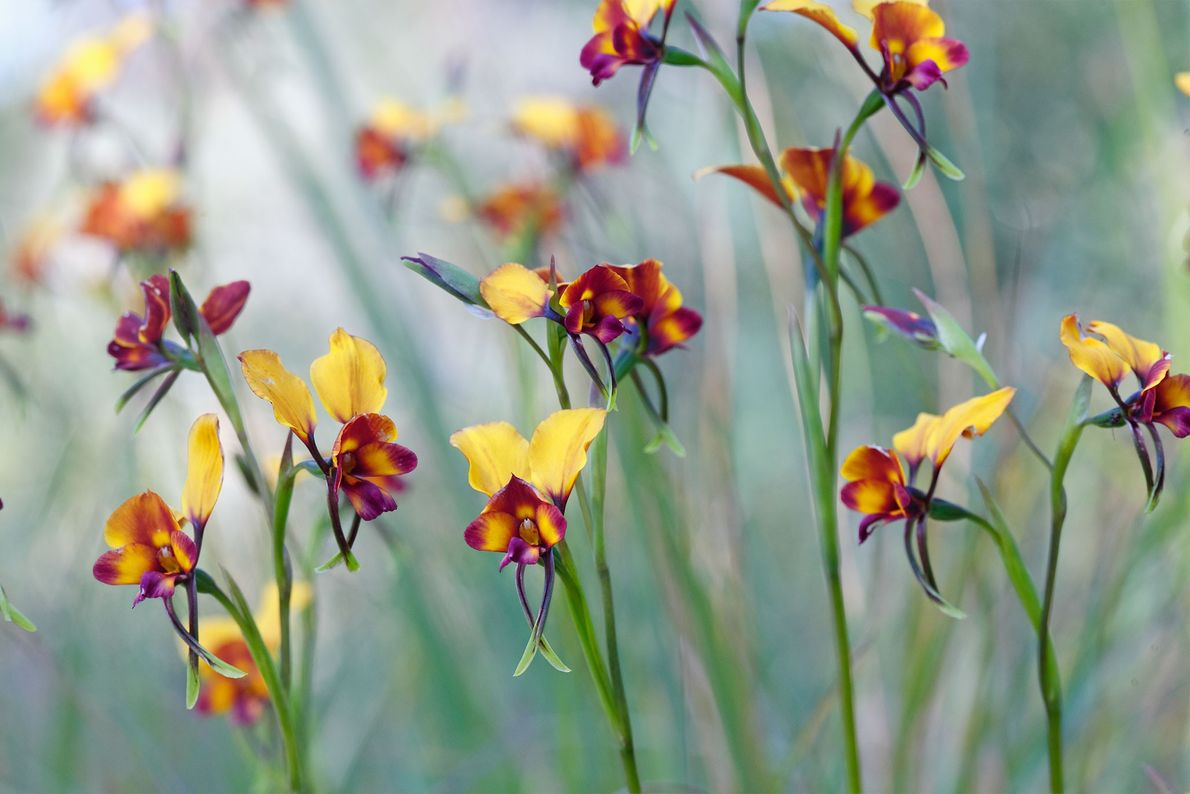 Certains collectionneurs d'orchidées recherchent toujours la plus rare et la plus insolite des orchidées.