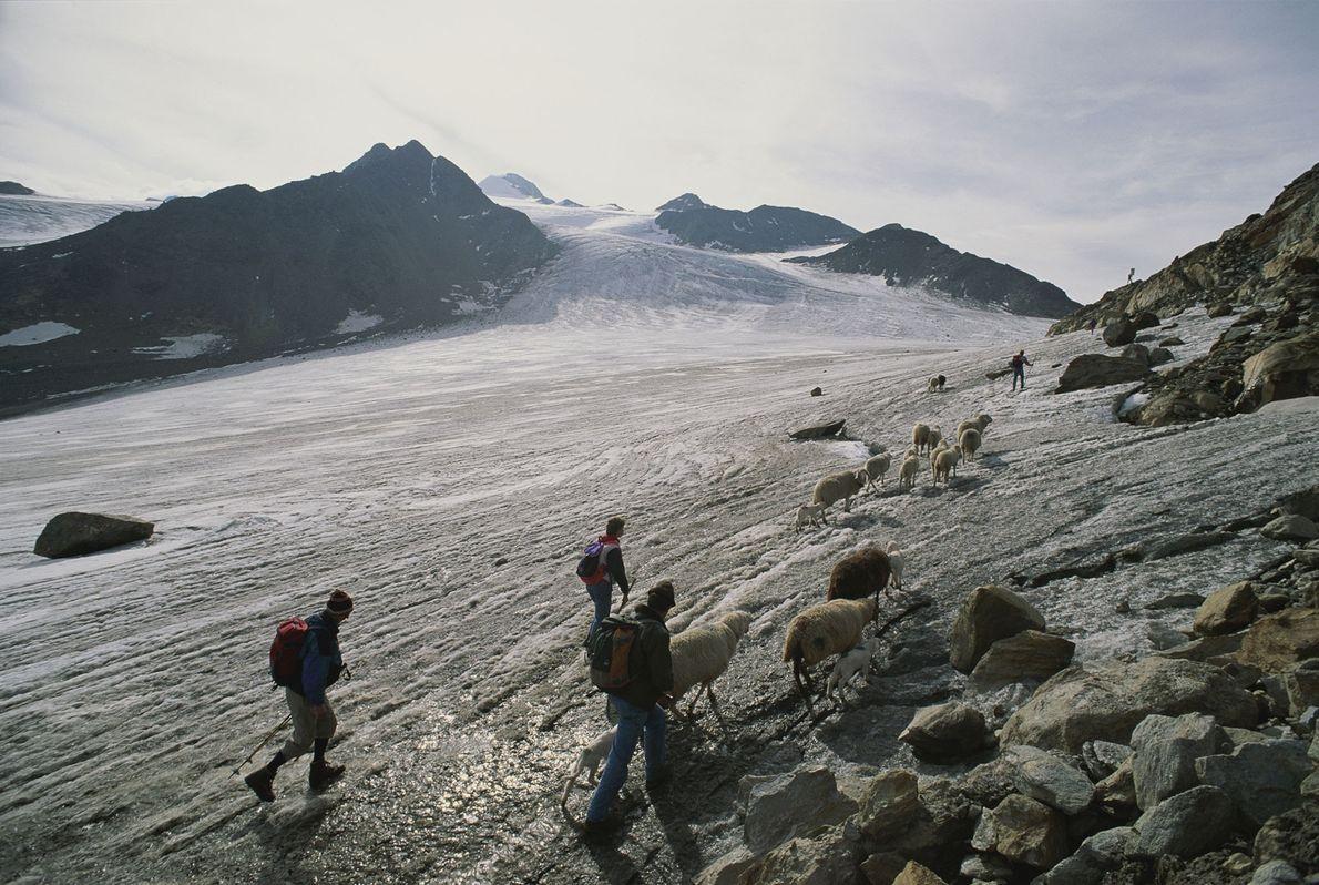 Les bergers traversent de nos jours le col alpin où les restes de l'homme des glaces ...
