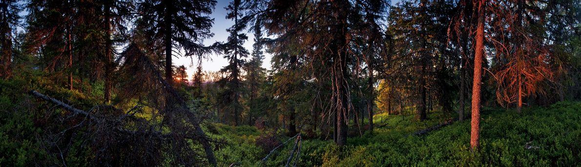 Prospérant au milieu d'un épais tapis de myrtilliers, des épicéas savourent la brève douceur estivale. Le ...