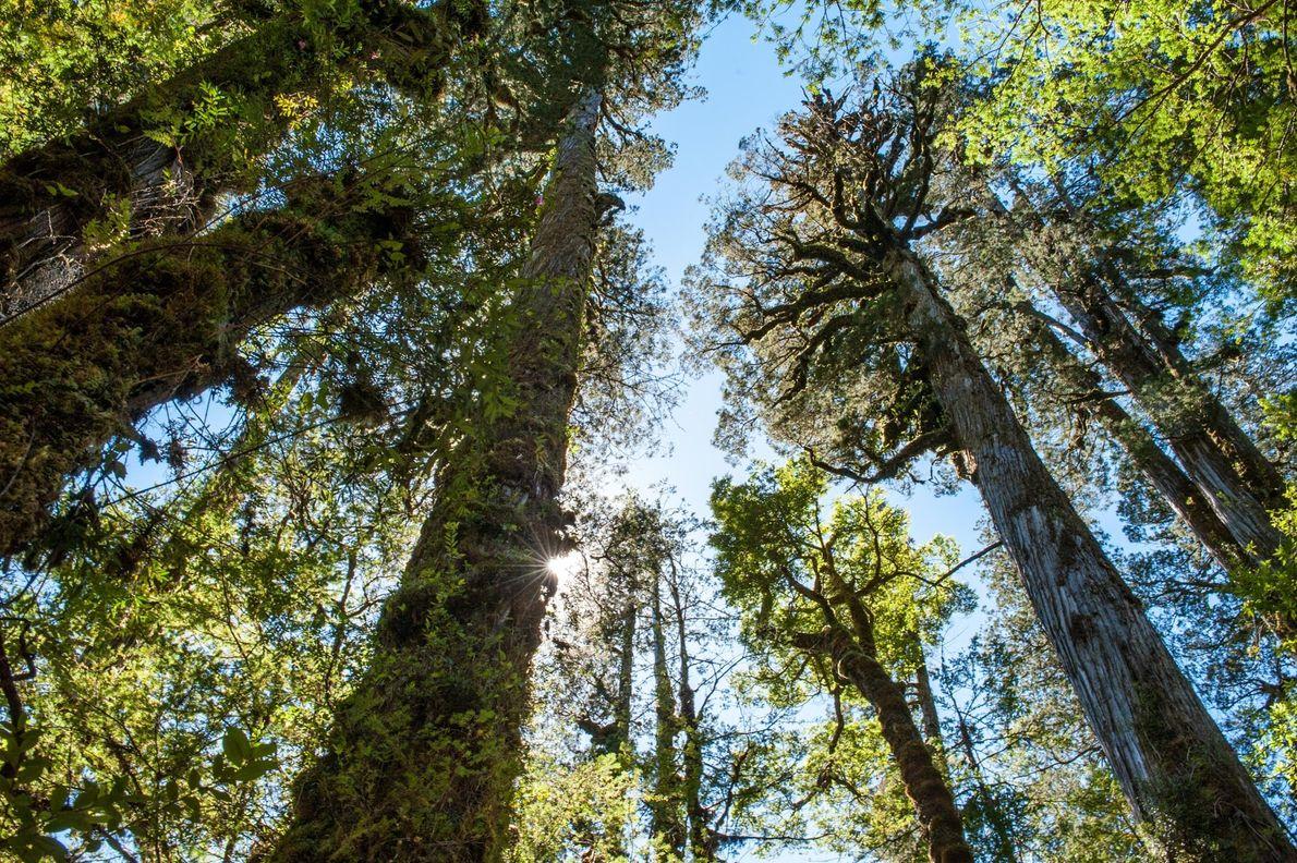 Les fitzroya sont emblème des forêts tempérées valdiviennes et leur écosystème préservé du parc national de ...