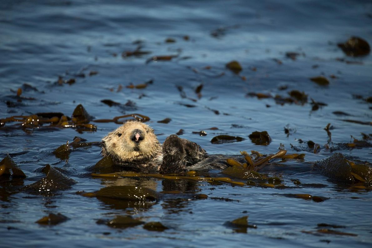 En Alaska, les loutres de mer succombent à cause de la prolifération des algues toxiques.