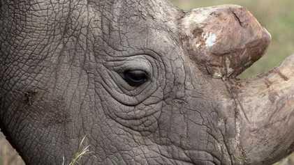 Ce rhinocéros blanc est le dernier représentant mâle de son espèce