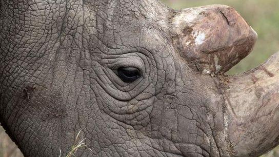 Sudan, le dernier rhinocéros blanc du nord mêle encore en vie, broute dans le parc national ...