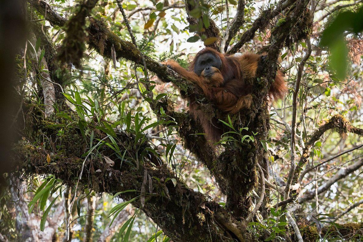 Un mâle adulte fait une sieste dans un arbre. Environ 800 individus vivent dans trois groupes ...