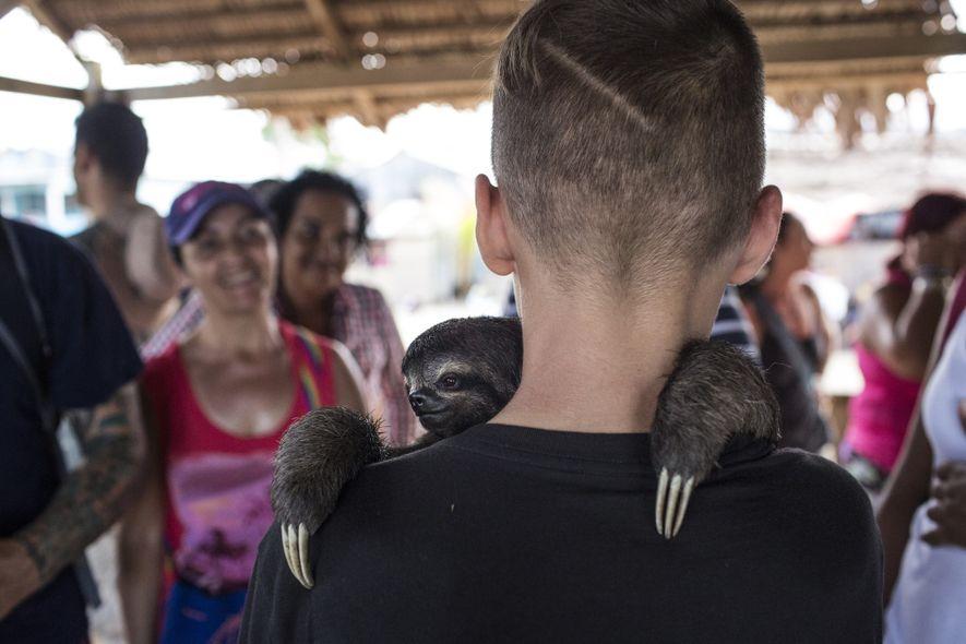 Un jeune homme tient dans ses bras un paresseux à Puerto Alegria, au Pérou, dans un ...