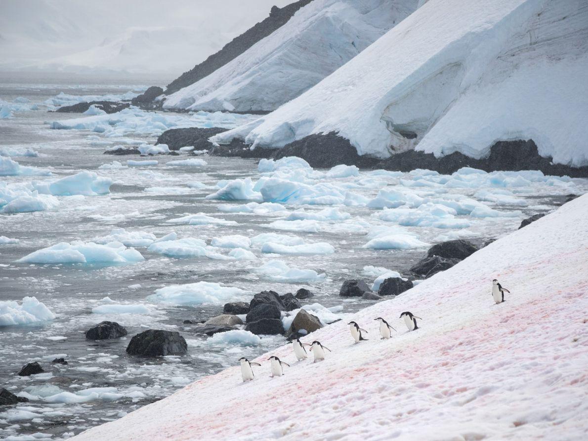 Sur un champ de neige subtilement coloré, des manchots à jugulaire se dirigent vers l'océan depuis ...