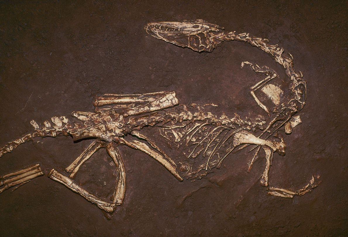 Âgé d'environ 200 millions d'années, ce menu carnivore baptisé Coelophysis bauri était l'un des tout premiers ...