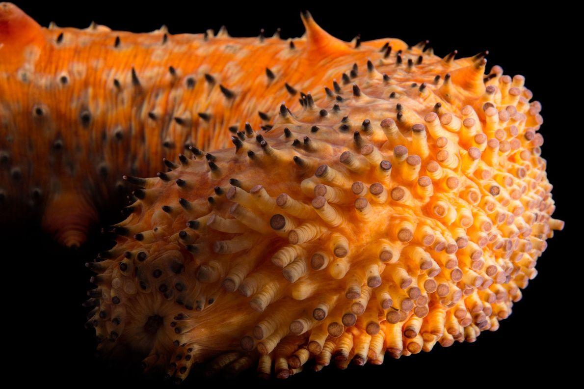 Un concombre de mer verruqueux de l'Aquarium de la baie de Monterey, en Californie.