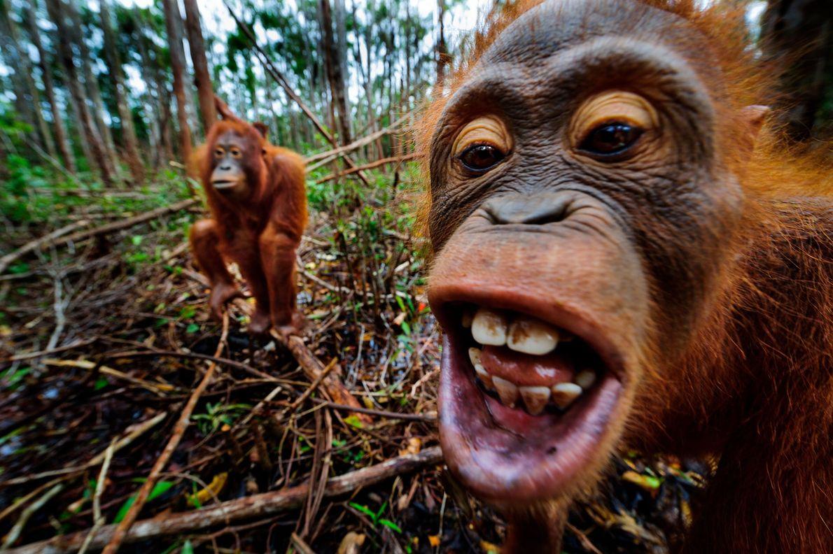 Au plus près des orangs-outans dans les marécages du Borneo Orangutan Rescue Center indonésien. À l'heure ...