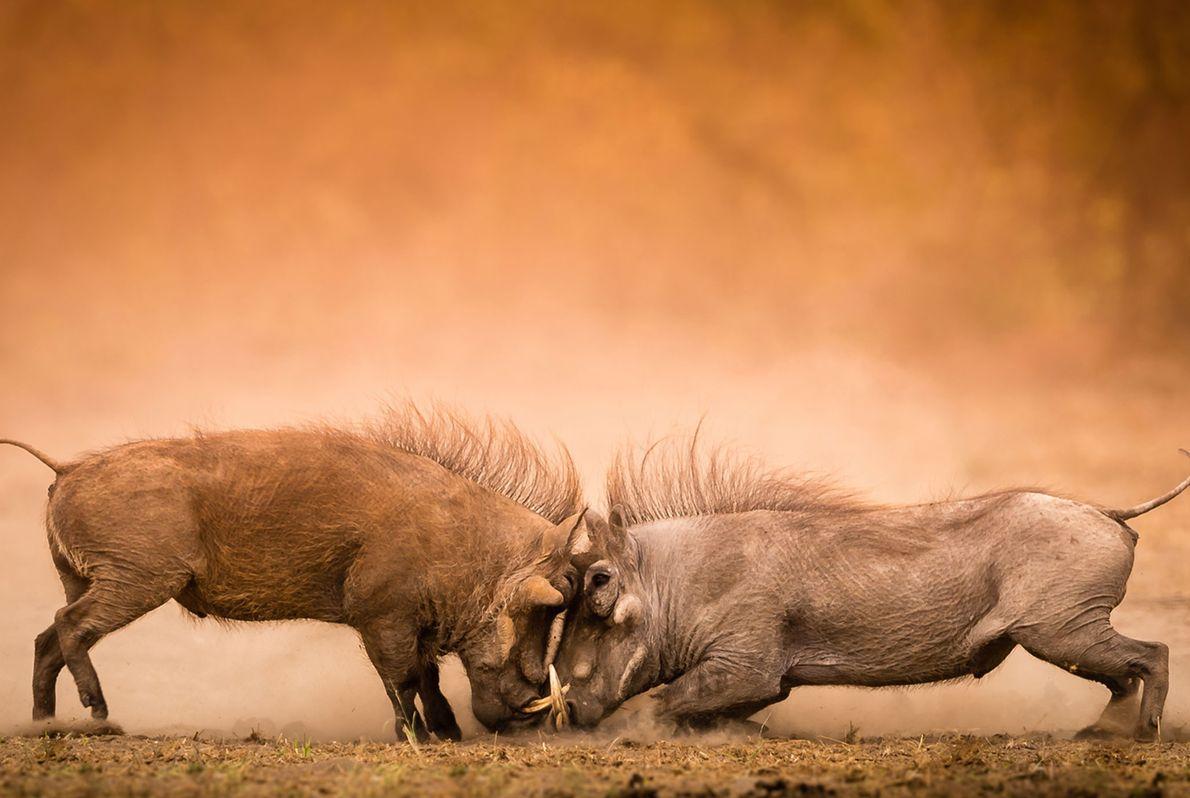 Choc frontal entre deux sangliers dans le parc national Kruger en Afrique du Sud.
