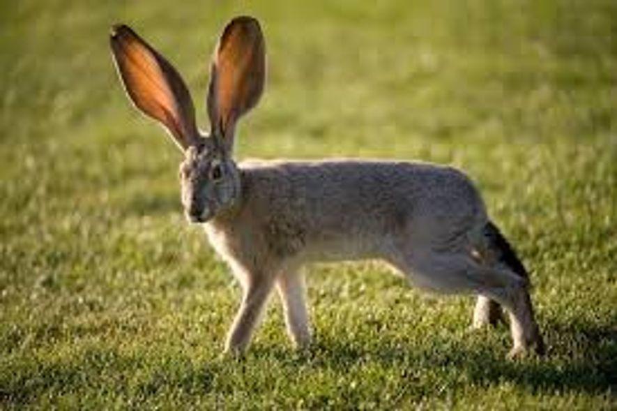 Les lièvres (ici, un lièvre dit de Californie sur une photo prise dans le Nevada) évacuent la chaleur de leur environnement grâce à leurs oreilles géantes.