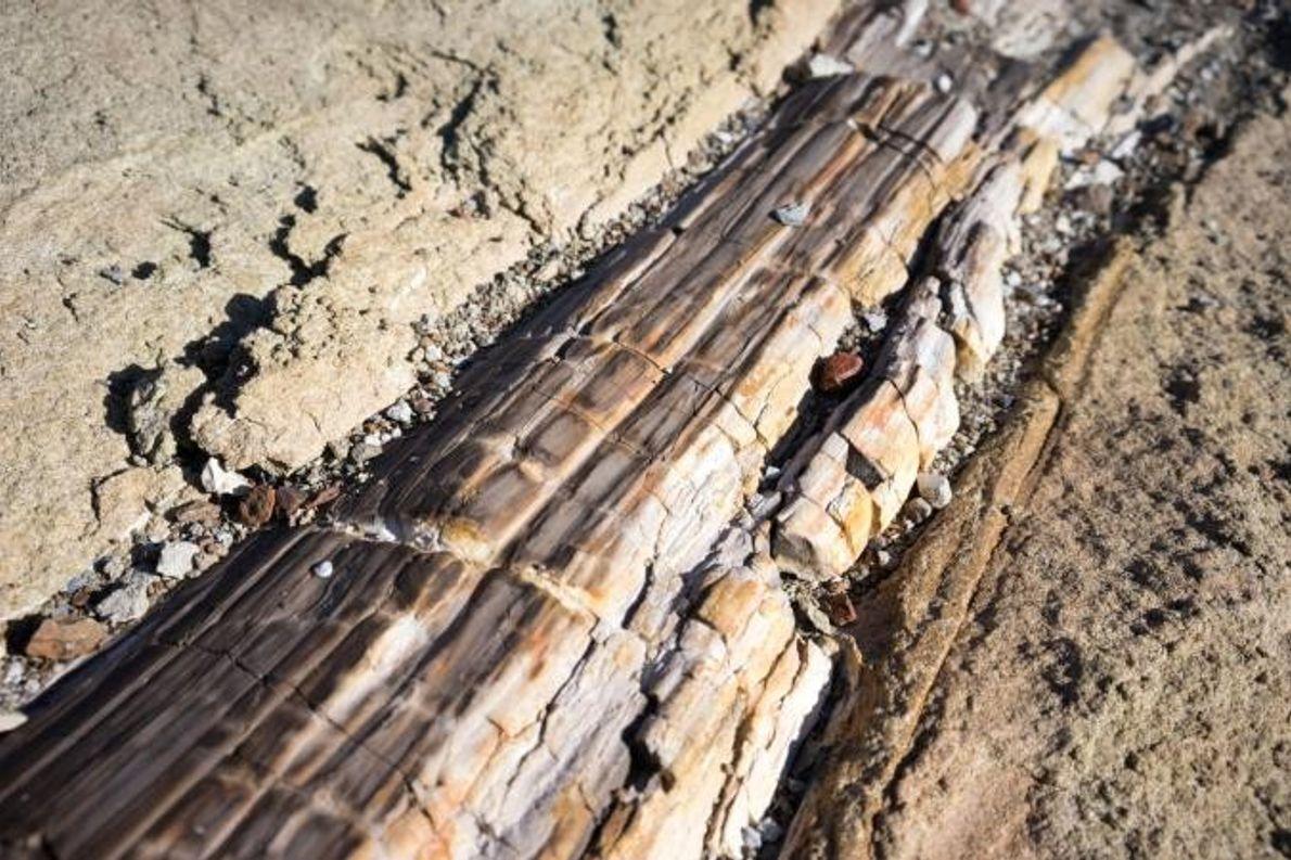 Une bûche fossilisée, enterrée dans un lit de grès sur les flancs de Graphite Peak.