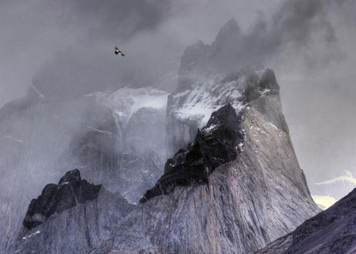 Un condor des Andes (Vultur gryphus) est à la recherche de sa future proie dans le ...