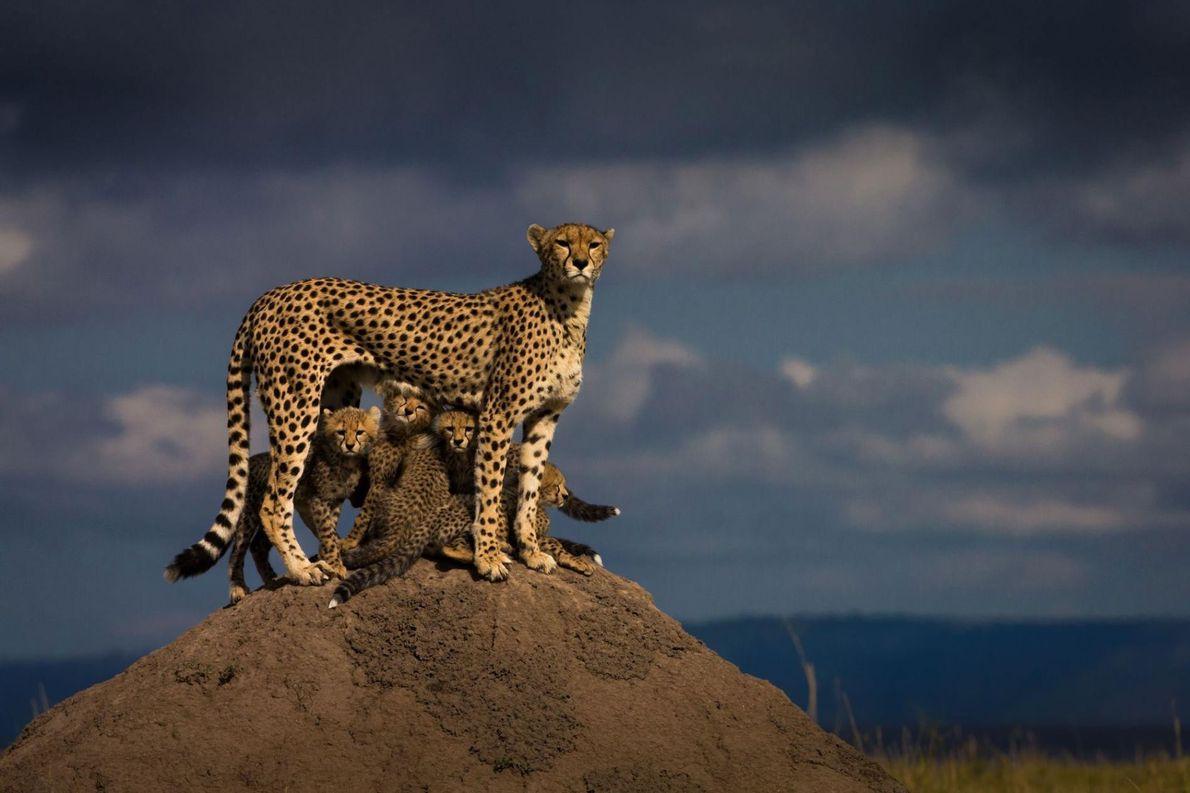 Après qu'une lionne a tué un de ses petits, une femelle guépard garde ses cinq petits ...